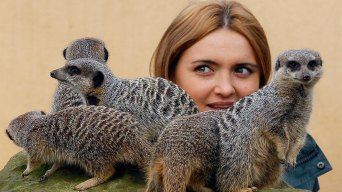 Meerkat Expert Cleared in London Zoo Love Triangle Spat