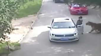 Tiger Mauls Woman to Death in Chinese Wildlife Park