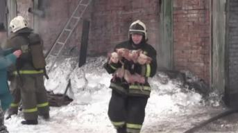 Raw: Piglets Rescued From Russian Farm Fire