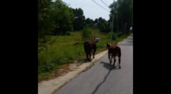 Video Shows Officer Trying to Pull Over 2 Cows