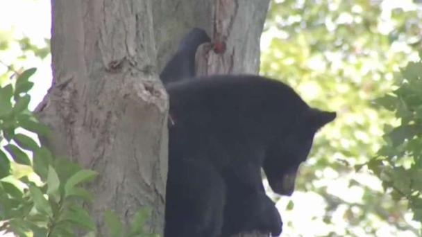 Lawmakers Have Several Approaches to Rising Bear Population