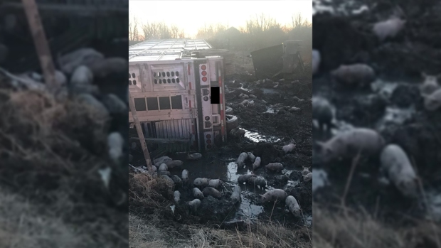 [NATL] Unfortunate Truck Spills: 3,000 Piglets Loose on Ill. Highway