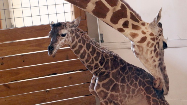 Name April Giraffe's Calf Born at New York Zoo