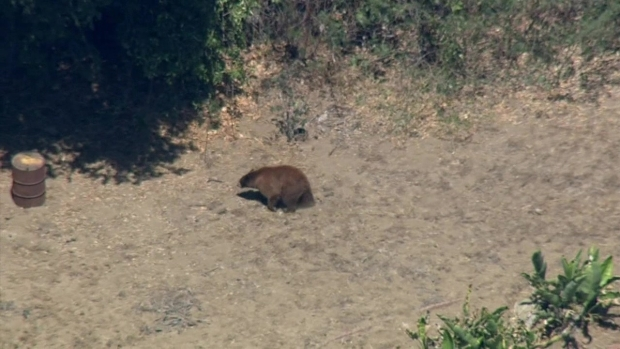 [NATL-LA] Family of Bears Roam Pasadena Neighborhood