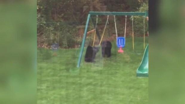 Bears on Swings in East Granby