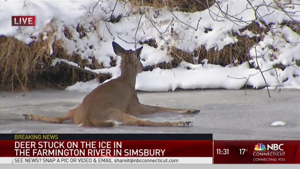 Deer Stuck on Thin Ice in Simsbury