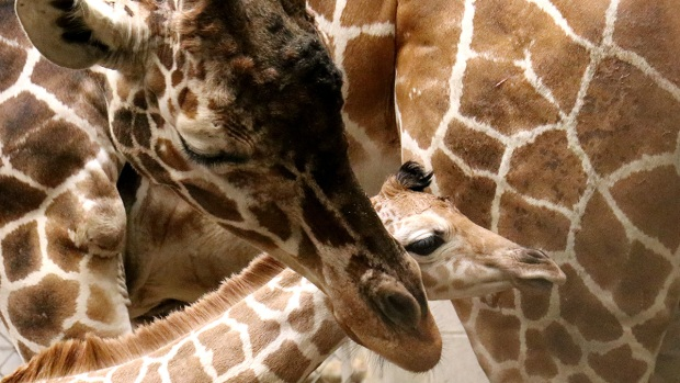 Adorable Zoo Babies: Indianapolis Zoo Welcomes Baby Giraffe