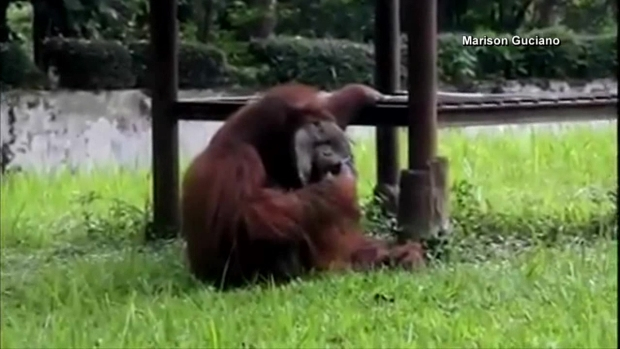 [DFW] Orangutan Caught Smoking at Indonesia Zoo