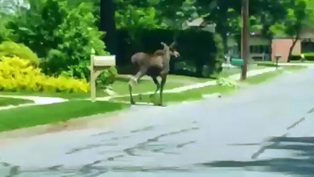 [HAR] Moose on the Loose in Southington