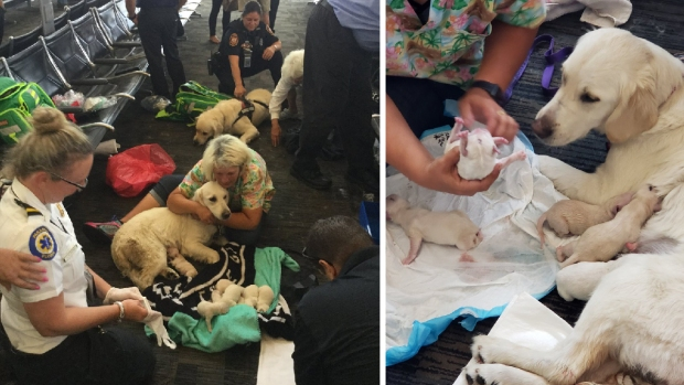 Service Dog Gives Birth to 8 Pups in Florida Airport