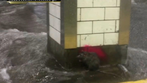 Rat Holds On Amid Rushing Floodwaters in NYC Subway