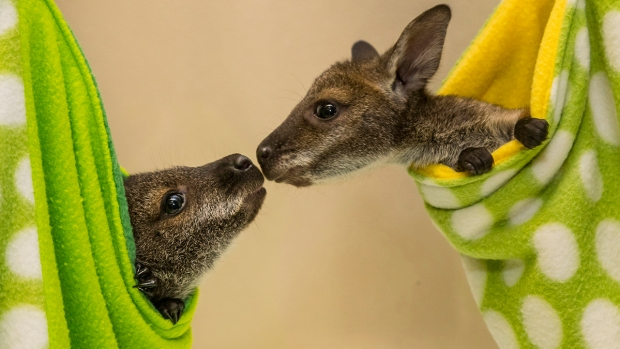 Adorable Zoo Babies: Wallaby Joeys at the San Diego Zoo