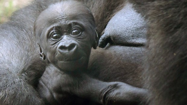 [NATL] Adorable Zoo Babies: Baby Gorilla at the Dallas Zoo