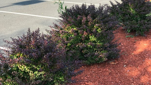 What to Know About Japanese Barberry in Connecticut