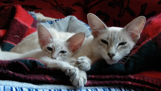 9 Tiny Cat Breeds That Are Hard to Resist