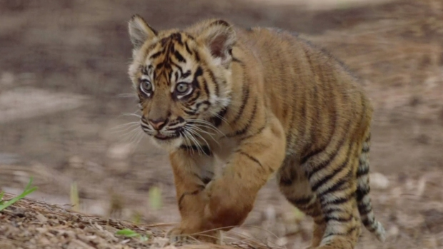 [NATL] 3 Sumatran Tiger Cubs Born at San Diego Zoo Safari Park