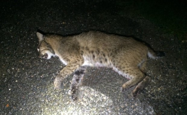 Bobcat Euthanized After Attacking in Lebanon