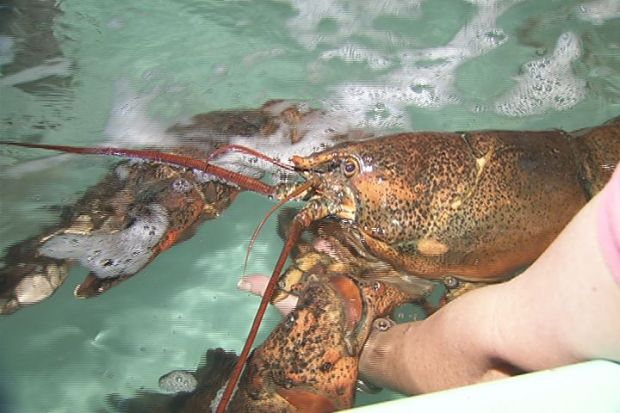 [HAR] 22-Pound Lobster to Be Released into Wild