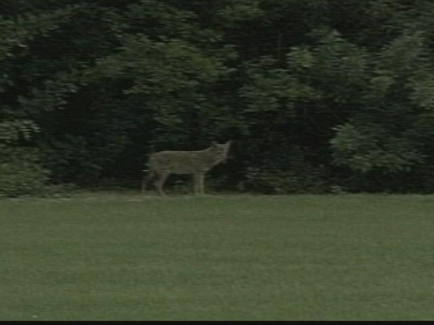 [HAR] Coyote Concerns