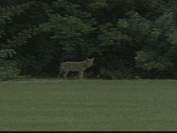 [HAR] Coyote Concerns