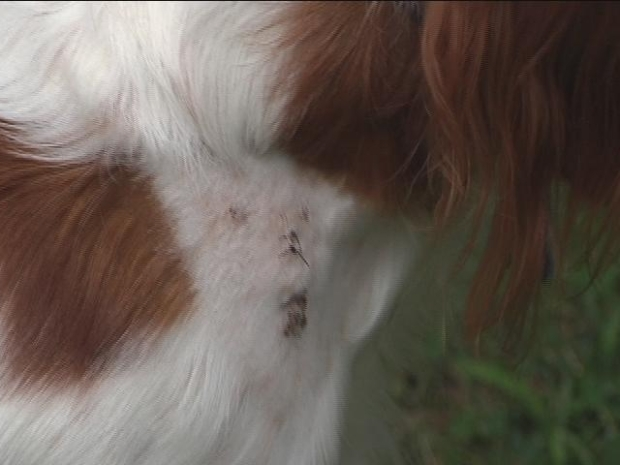 [HAR] Several Ansonia Dogs Attacked by Stray Pit Bulls