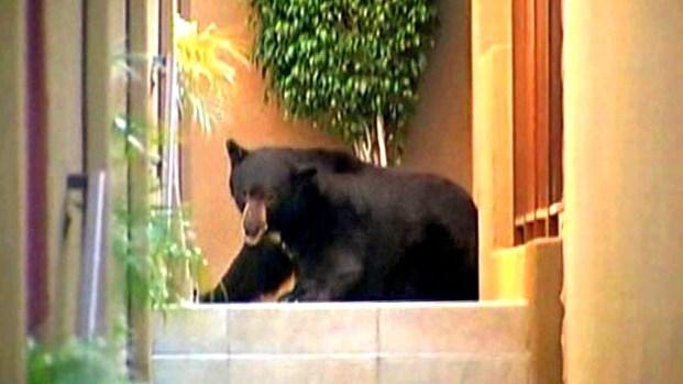 "[NBCAH] ""Meatball"" The Bear Captured"