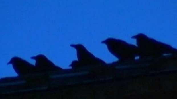 [NEWSC] Crows Invade College Town
