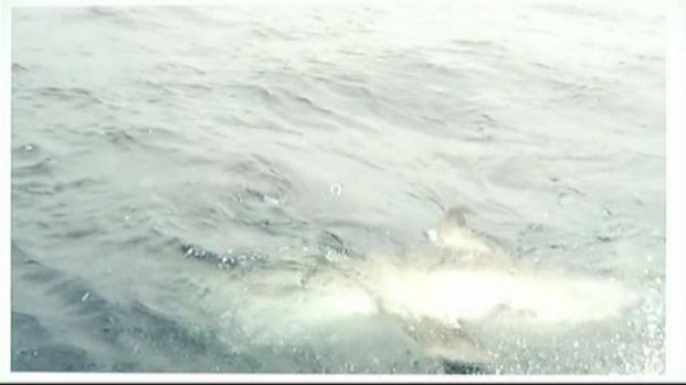 [MI] RAW VIDEO: Great White Shark Caught Off Fort Lauderdale Coast