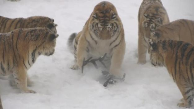 Caught on Video: Tiger Knocks Drone out of the Sky