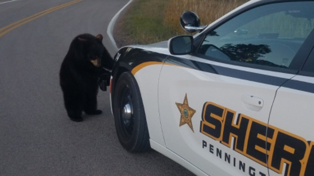 Bear Cubs' Great Escape Ends in the Back of a Squad Car