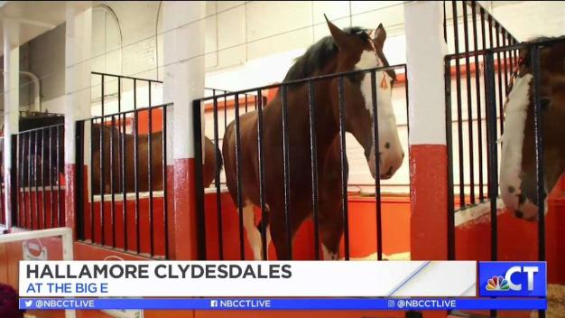 CT LIVE!: Hallamore Clydesdales at The Big E!