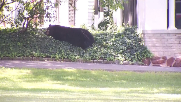 Roaming Bear Takes Nap Near Miss Porter's School