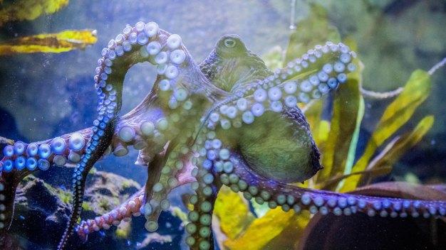 'Inky' the Octopus Escapes New Zealand Aquarium
