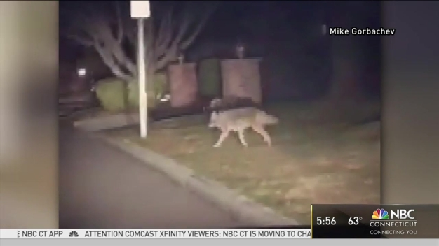 New London On Edge After Coyote Attacks