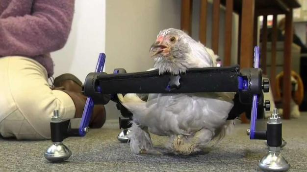 10-Year-Old Cries Fowl Over 'SNL' Spoof About Pet Chicken