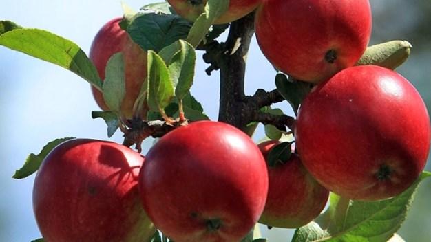 Connecticut Apple Tart