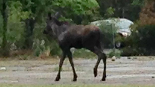 Moose Spotted in Bloomfield