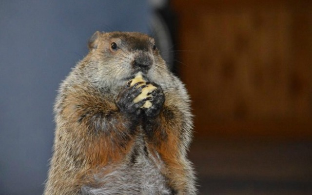 Chuckles VIII, the official state groundhog, predicted six more weeks of winter.