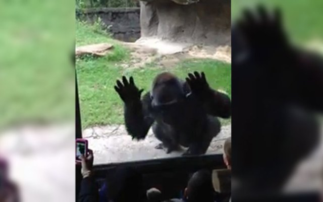 B'Wenzi the gorilla was being playful when he spoked kids who had been taunting him according to the Dallas Zoo.