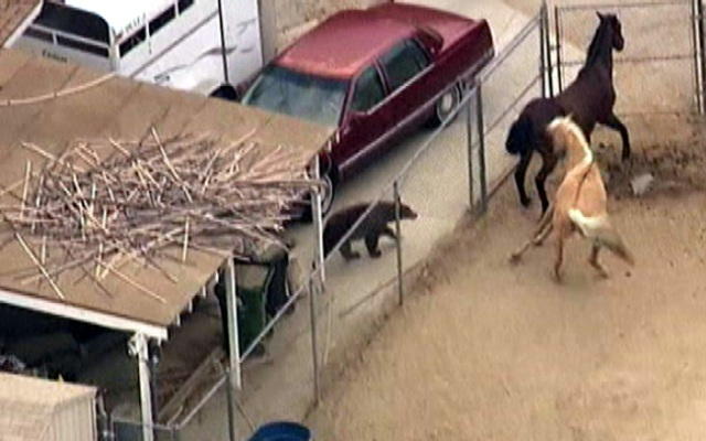 A bear surprises two horses Wednesday May 22, 2013 in the Shadow Hills area north of Los Angeles.