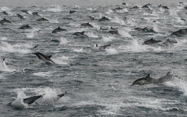 Antonio Ramirez who was aboard a Hornblower Cruise on Thursday snapped this photo of the dolphins swimming in a