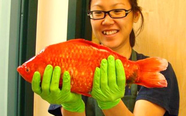 Giant goldfish, courtesy of University of Nevada, Reno.