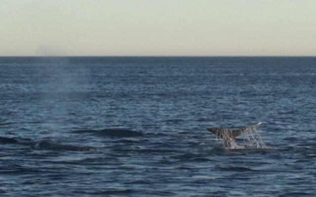 A still from a video taken by a whale researcher who spotted a pod of at least 23 whales off Point Fermin Sunday.