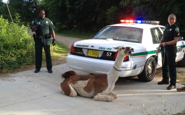 Deputies captured a llama that was on the loose in Tallahassee Saturday morning.