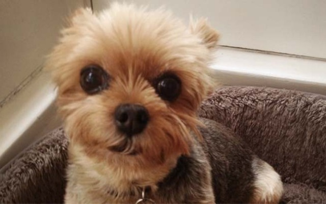 Walter, an 11-year-old deaf mini Yorkie, went missing from a Los Feliz backyard on May 16, 2013.