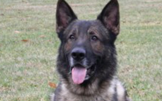 Rocky, the police dog, died during training over the weekend. Photo courtesy Cristina Commendatore/New Canaan Advertiser.