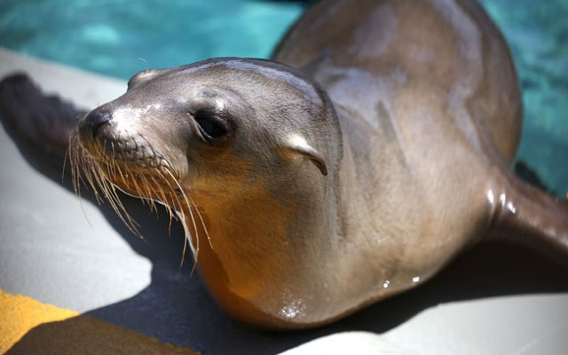 Federal scientists are trying to figure out why more than 1,000 sick sea lions -- mostly pups -- are being found on Southern California beaches. Here, a pup sits on the edge of a pool during a feeding at the Marine Mammal Center on April 1, 2013 in Sausalito, where the animal was transferred from a facility in Southern California.
