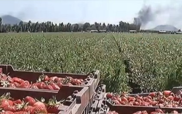 The Springs Fire in Camarillo is seen from the strawberry fields at Crisalida Farm, where 15 workers left the fields without permission because smoke from the growing wildfire was making it hard to breathe.