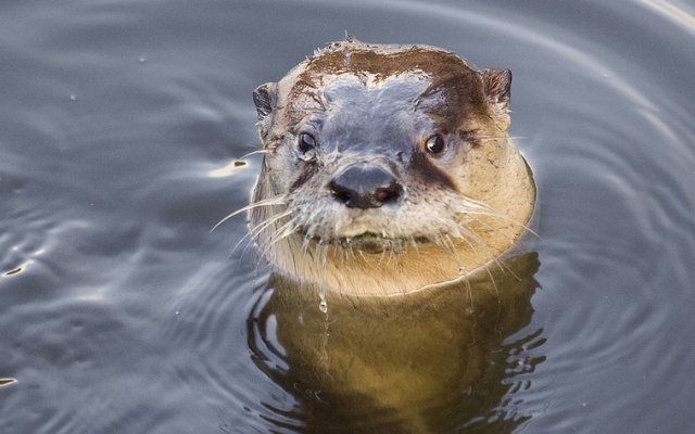 A river otter dubbed Sutro Sam is living in a pool in the ruins of the historic Sutro Baths in San Francisco.