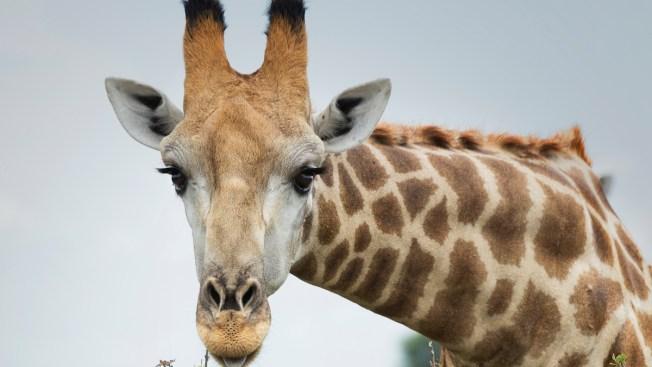 California Giraffe Lover Kicked in Face by Giraffe